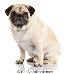 pug dog isolated on a white background