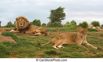 Lion and lioness lying down and resting