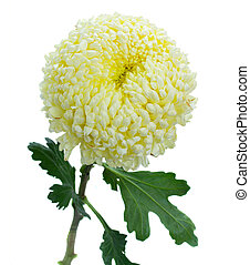 one chrysanthemum flower isolated on white background