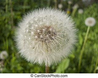 Happy Dandelion