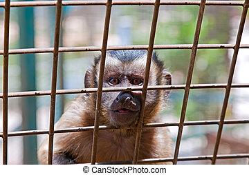 Monkey - A monkey sits in a zoo behind bars.