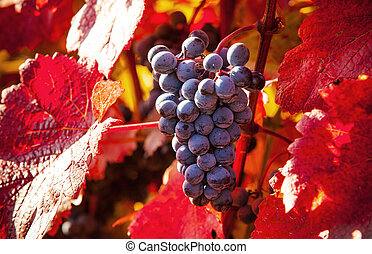Wine grapes - Macro photo of red wine grapes, low depth of...
