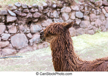 Peruvian vicuna Farm of llama,alpaca,Vicuna in Peru,South...