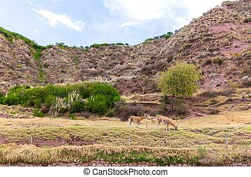 Fotos grandes de guanacos 22