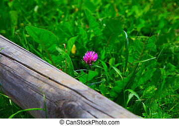 Red clover in a green grass field