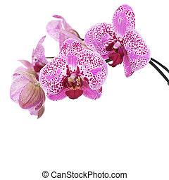 Flowers of lilac orchid isolated on white