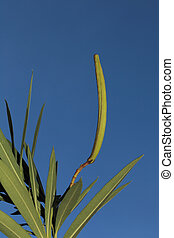 Oleander Whorl with Seed Capsule - Hardy Red Oleander whorl...