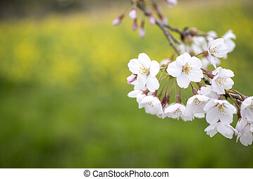 Yoshino cherry blossoms in front of green