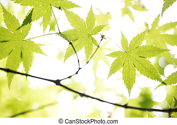 Maple leaves - Fresh green maple leaves in front of white