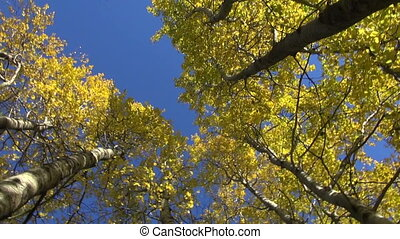 golden aspen tree in autumn forest