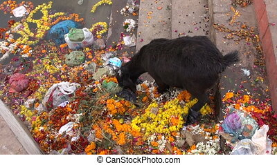 black goat eating flowers