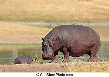 Hippopotamus Hippopotamus amphibius on river bank, South...