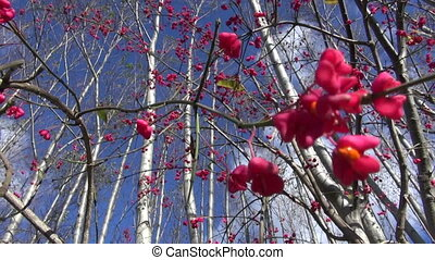 European spindle (Euonymus) - European spindle (Euonymus...