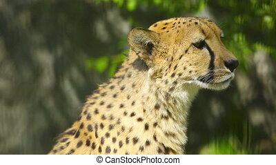 Cheetah - Young cheetah chirping in his aviary, at the Zoo.