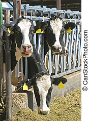 Three Dairy Cows - Three dairy cows with their heads through...