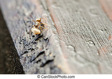 Small Brown Ant Worker Macro - Small Brown Ant Worker Carry...