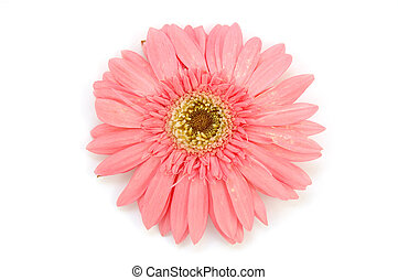 Pink gerber daisy in isolated white background