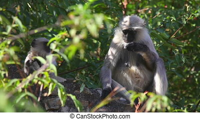 Gray langurs - Two gray langurs (mother and a baby) sitting...