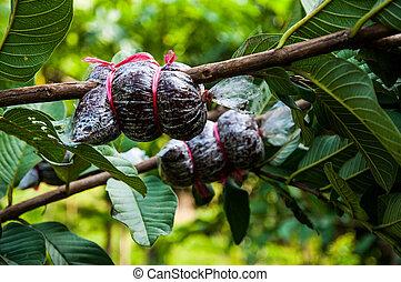Guava graft