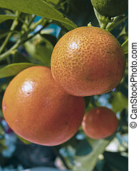 Bonsai plant of Orange fruits, Sour orange, Seville orange