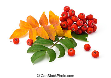 rowan berries and leaves - bunch rowan berries and leaves on...