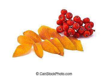 rowan berries and leaves - berries rowan and autumn leaves...