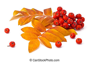 rowan berries and leaves - berries rowan and autumn leaves...
