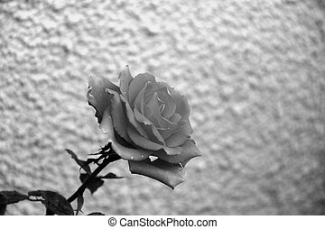 black and white rose on abstract background