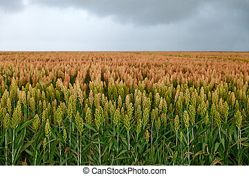 field of sorghum - ield of sorghum, named also durra,...