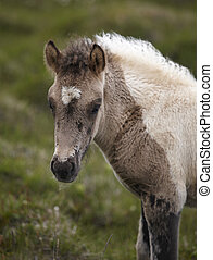Icelandic colt grazing on the ground at Vatnsnes Peninsula...