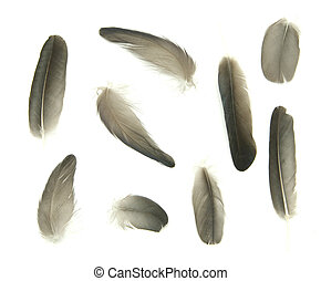 feathers  - black feathers isolated on white background
