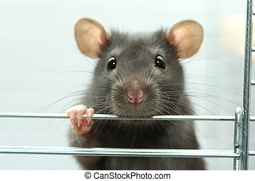 rat - funny black rat sits in cage
