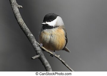 Carolina Chickadee on a Branch - Carolina Chickadee Poecile...