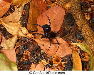 Black Widow Spider - Black widow spider close up.