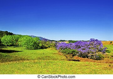 DSC_4825- Swaziland Scene - A patch of flowering Jacaranda...