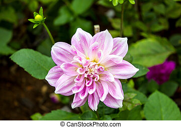 Garden dahlias at Mae Fah Luang Garden,locate on Doi...