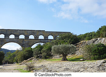 Old olive tree in the front of the Pont du Gard, ancient...