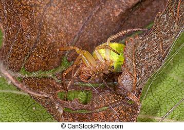 Cucumber green spider (Araniella cucurbitina) in a hideout