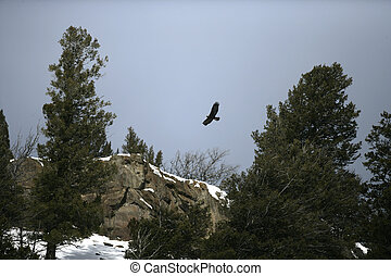 Golden eagle, Aquila chrysaetos, single bird in flight,...