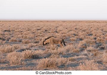 wildebeest - Side view of wildebeest in the savannah