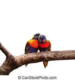 Rainbow Lorikeets - Pair of Rainbow Lorikeets