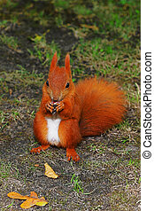 Squirrel - A red squirrel in the green grass