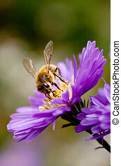 bee on purple flower - bee feeding on purple flower