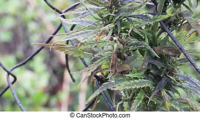 hemp - close-up hemp leaves at the wind