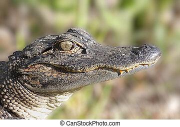 American Alligator (alligator mississippiensis) basking in...