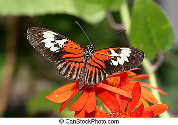 Maderia Butterfly with red flowers and green leaves
