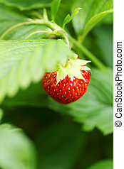 Strawberries on branch - Ripe strawberries on branch...
