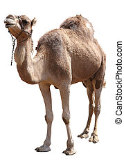 camel - isolated single hump camel with clipping path...