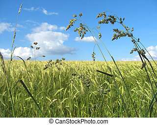 grass field - tall grasses against a wheat field background