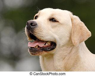 yellow dog head - white Labrador female. inter champion FCI